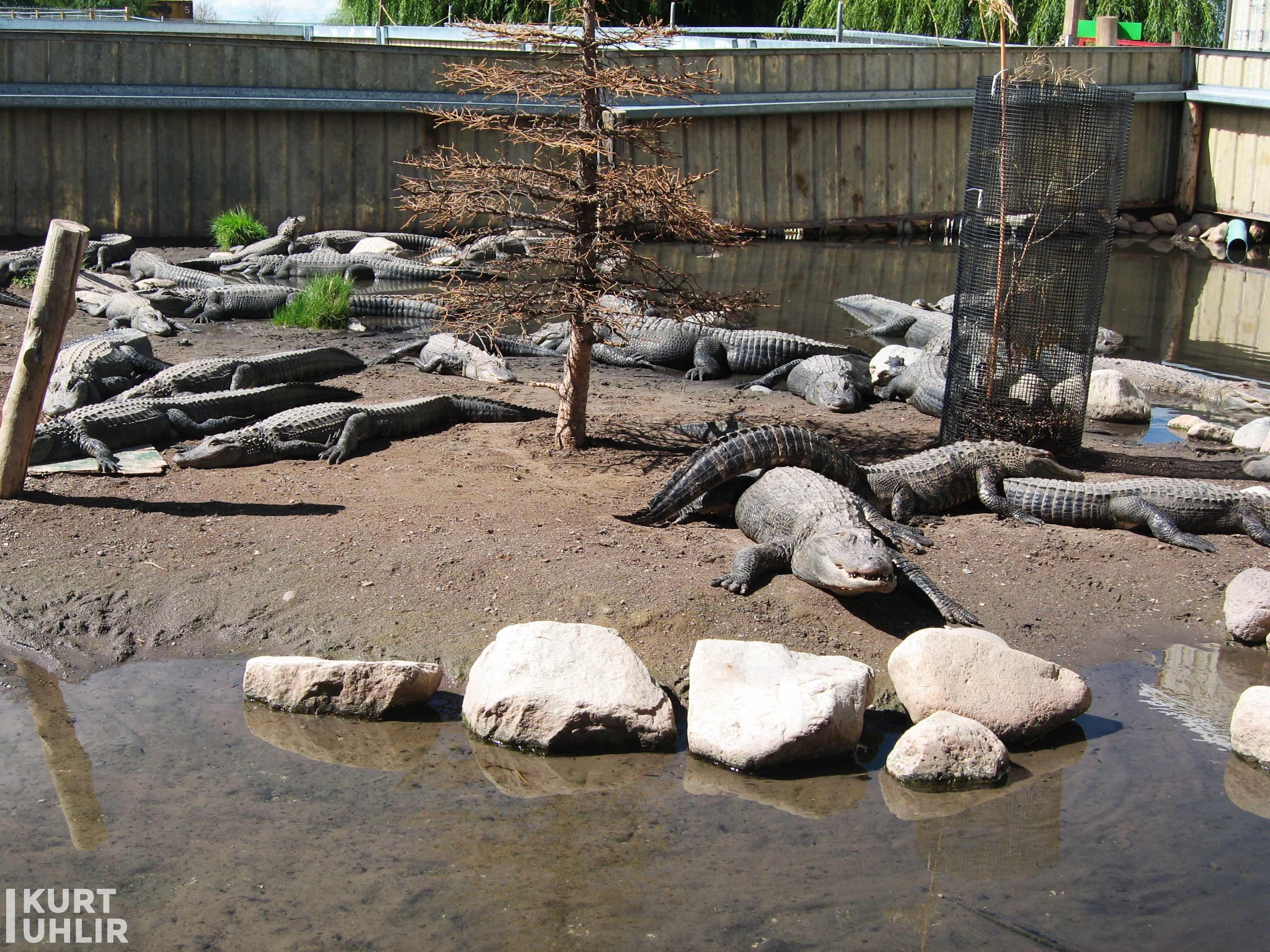 Kurt Uhlir at pond before alligator handling